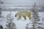 Oso Polar en Canada