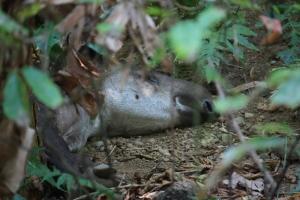 danta o tapir