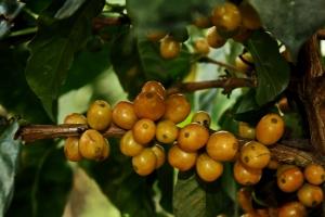 café variedad colombia