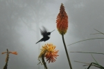 colibrí libando