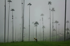 bosque de palmas de cera en el valle de Cocora