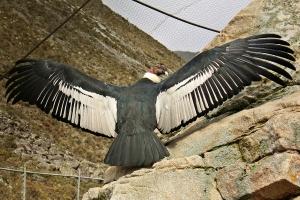 la belleza del Condor