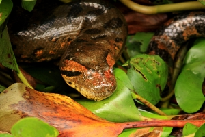 Anaconda entre el boral