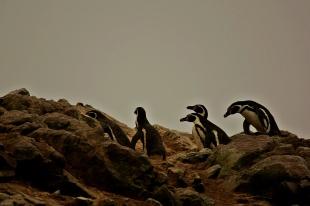 Pinguino Humboldt