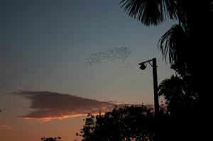 Millones de periquitos en Leticia
