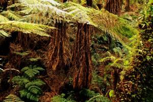 Helechos gigantes prehistóricos de Amboró