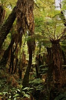 Bosque de Helechos gigantes, Las Yungas, Amboró