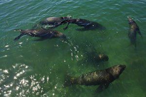 Lobos marinos en Coquimbo