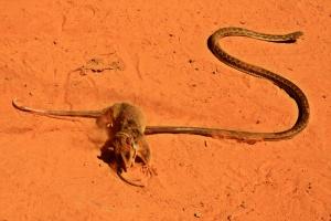 Lucha entre pequeño marsupial y culebra