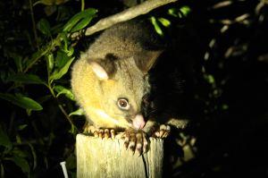 possum en robin hood bay_rec