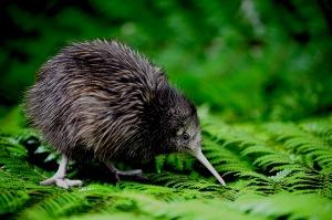 Polluelo Kiwi en un helecho
