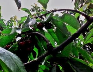 cerezas grandes y maduras