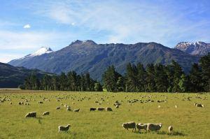 ovejas en nueva zelanda