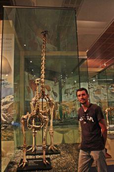 Esqueleto de Moa Gigante